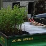 140 downy birches ready to plant